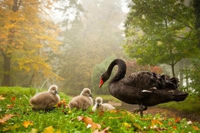 black-swan-with-babies%2B%25281%2529.jpg