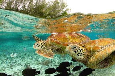 green-sea-turtles-bora-bora.jpg