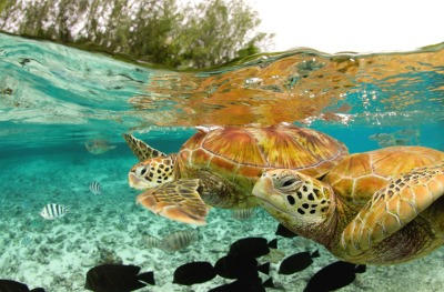 green-sea-turtles-bora-bora.jpg