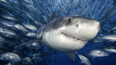 icy-great-white-shark.jpg