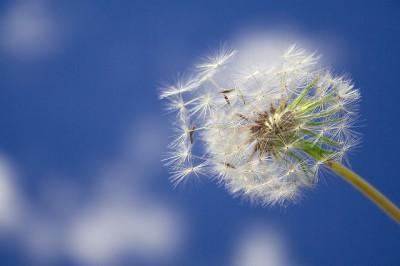 dandelion+18.jpg
