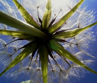 dandelion+29.jpg