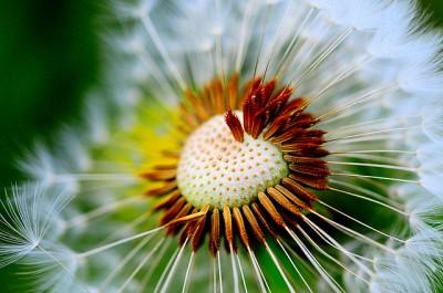 dandelion+8.jpg